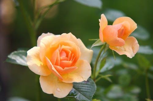 oranje roos