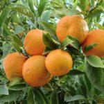 Neem ook een sinaasappel plant in huis of tuin